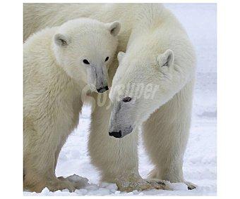 Caricias Lienzo de tiernas entre osos polares impreso en canvas, lamina 30x30 cm, artis