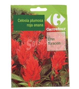 Carrefour Celosia plumosa