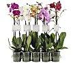 Orquídea de 1 vara de 45 -50 centímetros y maceta transparente de 12 centímetros VIVEROS.  VIVEROS