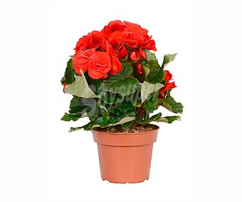 Batlle Begonia de 30cm , batlle