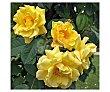 Caja rosal trepador gold en color amarillo, viveros.  Viveros