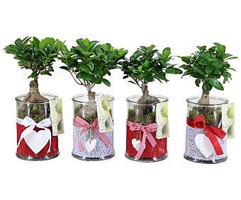 Viveros Bonsai de denominación Ficus Ginseng de 35 a 40 centímetros de altura, en jarrón de cristal de 12 centímetros VIVEROS. Este producto dispone de distintos modelos o colores. Se venden por separado SE SURTIRÁN SEGÚN EXISTENCIAS